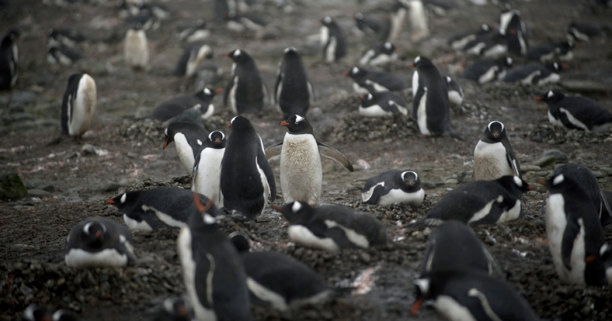 This photo taken on October 28, 2008 shows Gentoo penguins on the shore of King George Island, Antarctica. Dr. George Murray Levick, an explorer, noted the