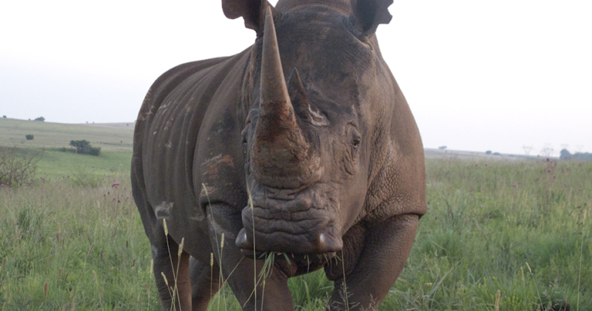 A white rhino at the Rietvlei Nature Reserve near Pretoria, South Africa. After two of the reserve's rhinos were killed by poachers, rangers decided to de-horn the remaining animals, a drastic measure to try and prevent future poaching.</p>