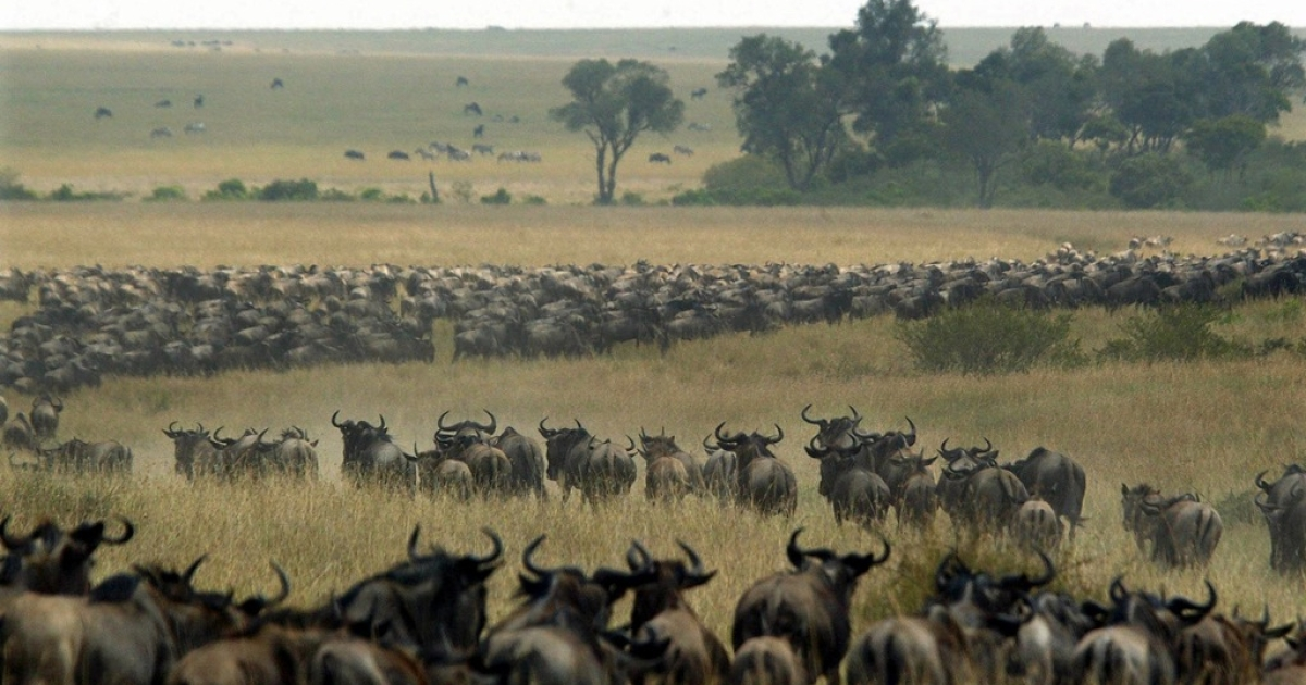 Thousands of wildebeest wind through the Masai Mara National Reserve in Kenya, Aug. 3, 2002. More than a million wildebeest annually cross the border between Tanzania and Kenya. The Masai Mara is one of Africa's main safari destinations for tourists. (Pedro Ugarte/Getty Images)</p>