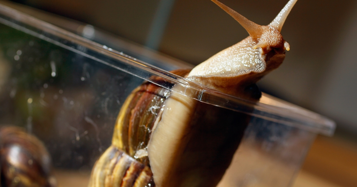A Giant African land snail is seen as the Florida Department of Agriculture and Consumer Services announces it has positively identified a population of the invasive species.</p>
