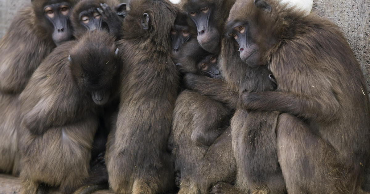 Gelada baboons' lip-smacking may be an evolutionary step towards speech, according to a new study from the University of Michigan.</p>
