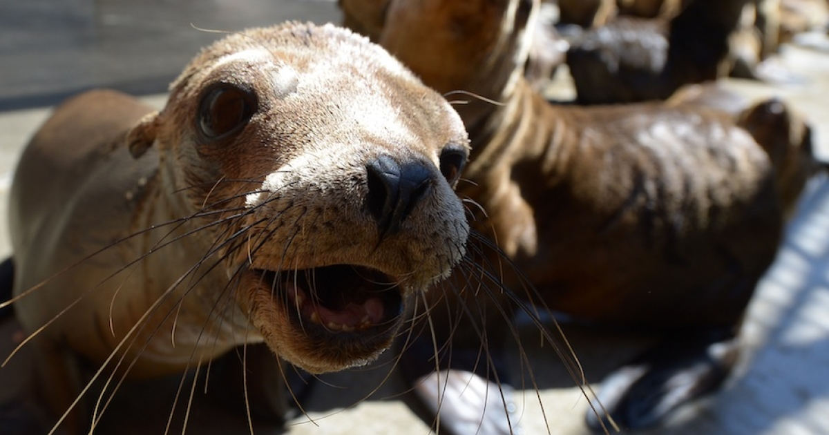 Malnourished sea lion pups recover at the Marine Mammal Care Center at Fort MacArthur on April 9, 2013 in San Pedro, California. Sickly emaciated sea lion pups have been turning up on California's coastline in unusually high numbers since January - with live strandings nearly three times higher than the historical average.</p>