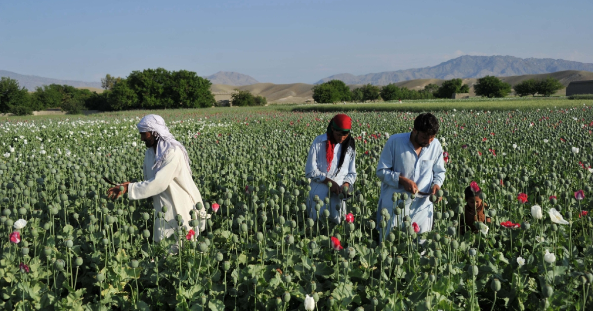 Afghan farmers work in their poppy field in Khogyani District of Nangarhar province on April 29, 2013.</p>