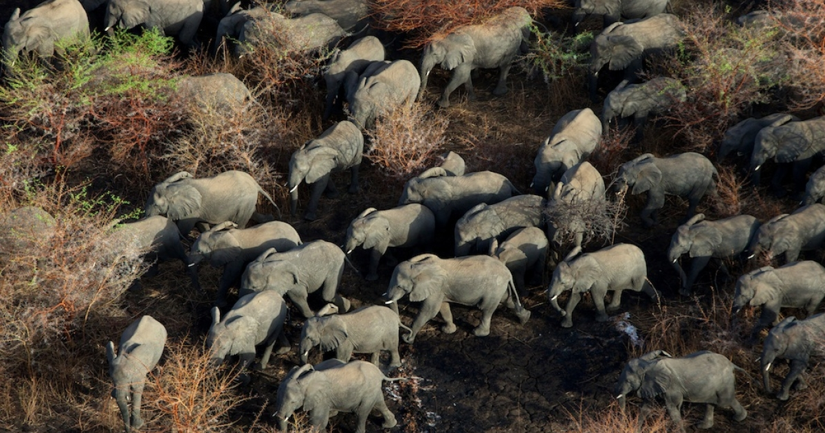 An aerial picture taken on Avril 5, 2013 shows the main herd of elephants in Zakouma National Park.</p>