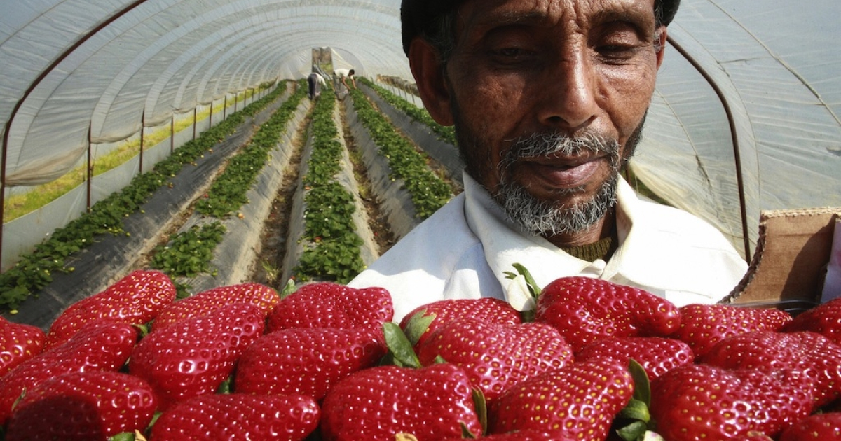 A migrant fruit picker holds up a carton of strawberries inside a greenhouse on March 28, 2008 in Nea Manolada, southern Greece. Nea Manolada was a quiet village in southern Greece unknown to many until a strike by 'strawberry slaves' exposed the dark underbelly of one of the country's key economic sectors.</p>