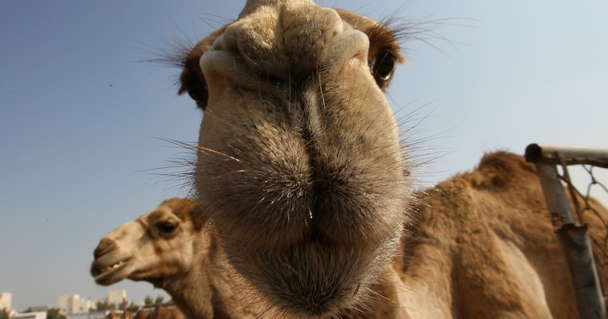 A camel given as a gift to French president Francois Hollande was cooked and eaten in Timbuktu.</p>