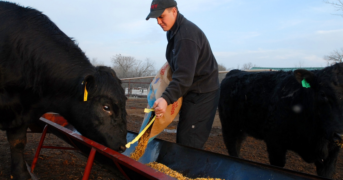 Cattle farmer Chance Kornegay feeds his Maine-Anjou bulls in Owasso, Okla., on Mar. 13, 2007.</p>