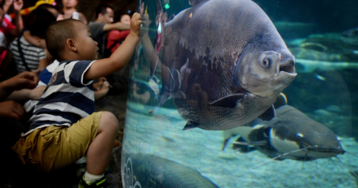 A young boy views a Pacu fish at the Beijing Aquarium on May 30, 2012.</p>