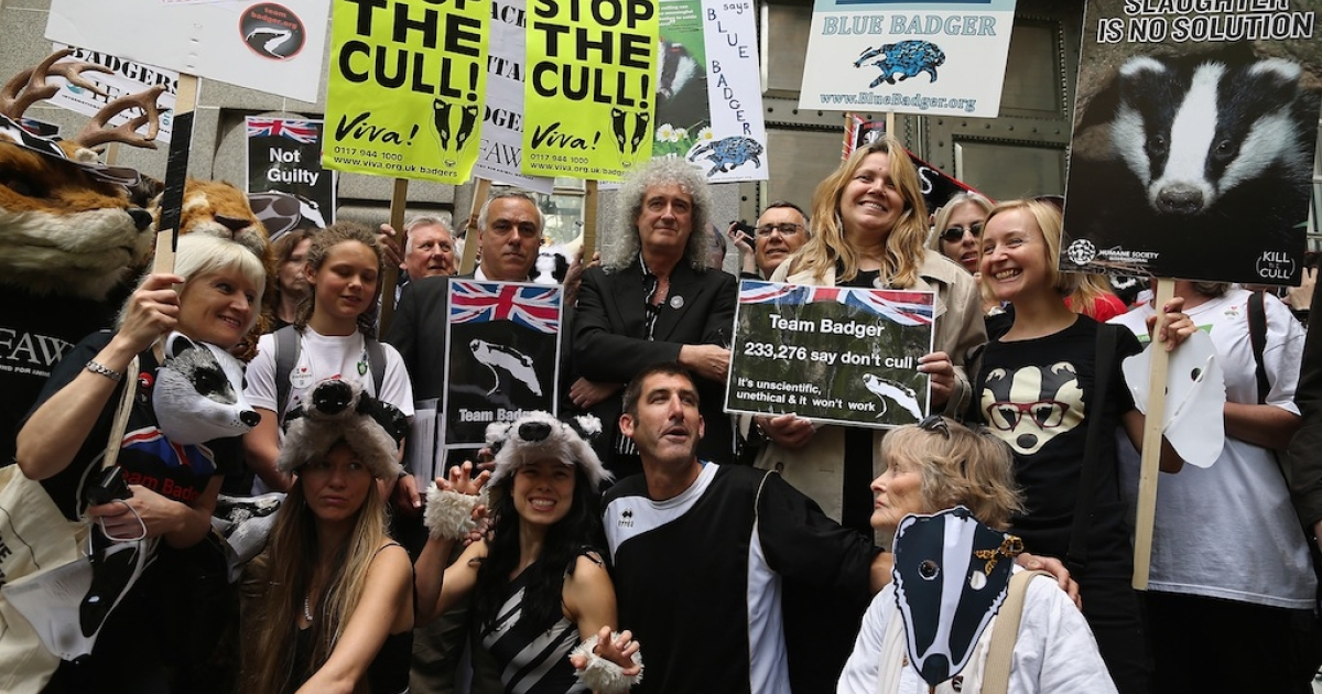 A controversial badger cull has begun in England despite widespread opposition.</p>