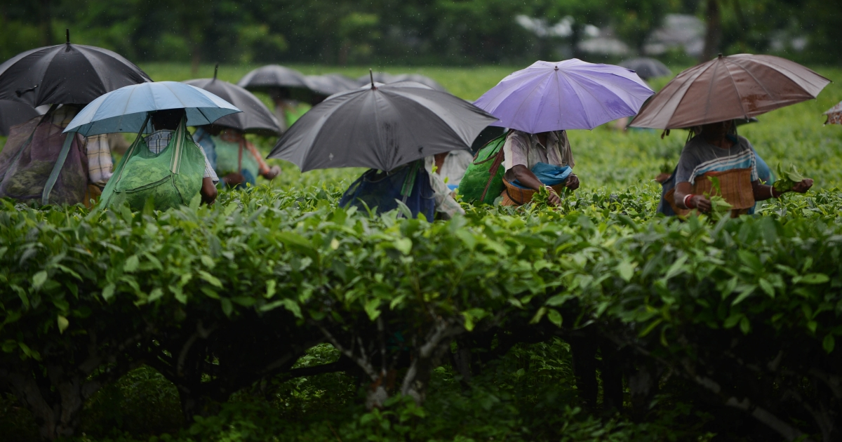 In this photograph taken on June 6, 2013, Indian women use umbrellas to shield themselves from rain as they pluck leaves from tea shrubs in a large field at a tea garden near Binnaguri in the north eastern Indian state of Assam. Tea is indigenous to India which is the second largest producer in the world behind China.</p>