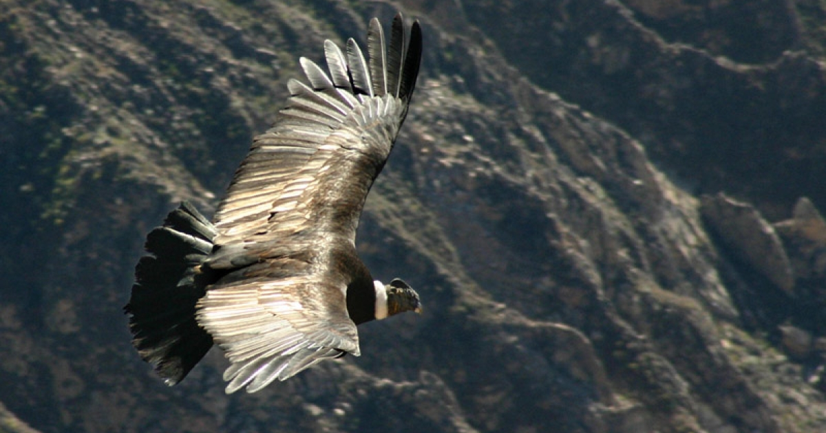 A condor (Vultur gryphus) flying over the Colco canyon in Peru.</p>