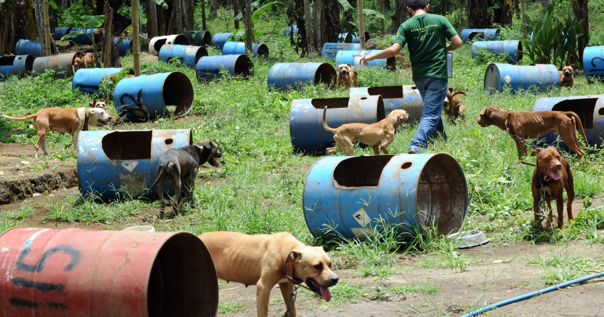 This picture taken on April 3, 2012, shows dogs rescued from a South Korean-run online dog fighting racket resting next to steel barrels used as their temporary shelters south of Manila in the Philippines.</p>