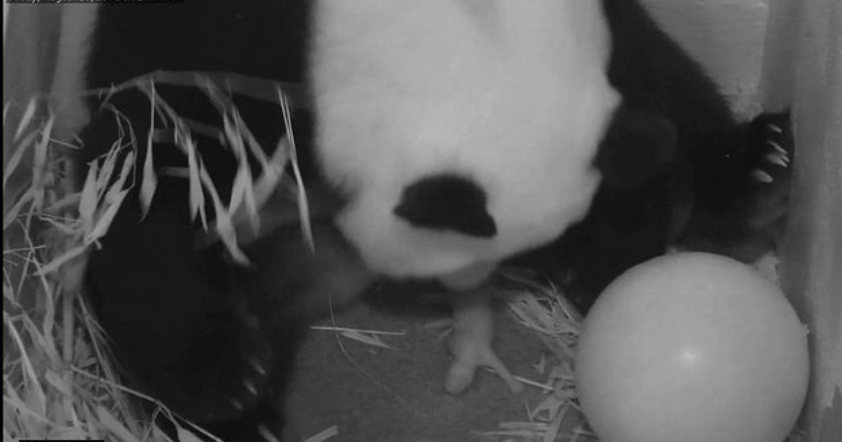 This image from the Smithsonian National Zoological Park shows Giant Panda Mei Xiang giving birth to her newborn cub on August 23, 2013. A second cub was stillborn on Saturday.</p>