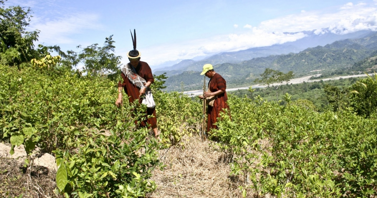 Members of the Ashaninka ethnic group harvest coca leaves to be sold to the highest bidder, in Pichari Peru.</p>