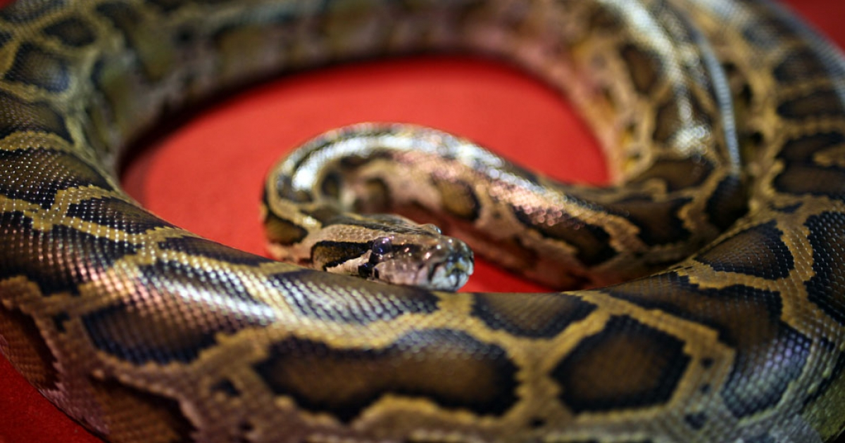 A python sits on display to celebrate Chinese New Year at the National Zoo in Kuala Lumpur on February 10, 2013.</p>