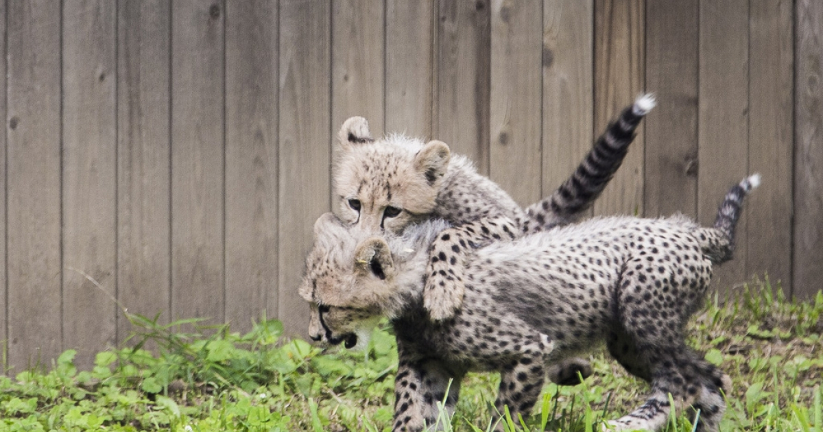 Three-month-old cheetah cubs at the National Zoo in Washington, DC, July 24, 2012.</p>