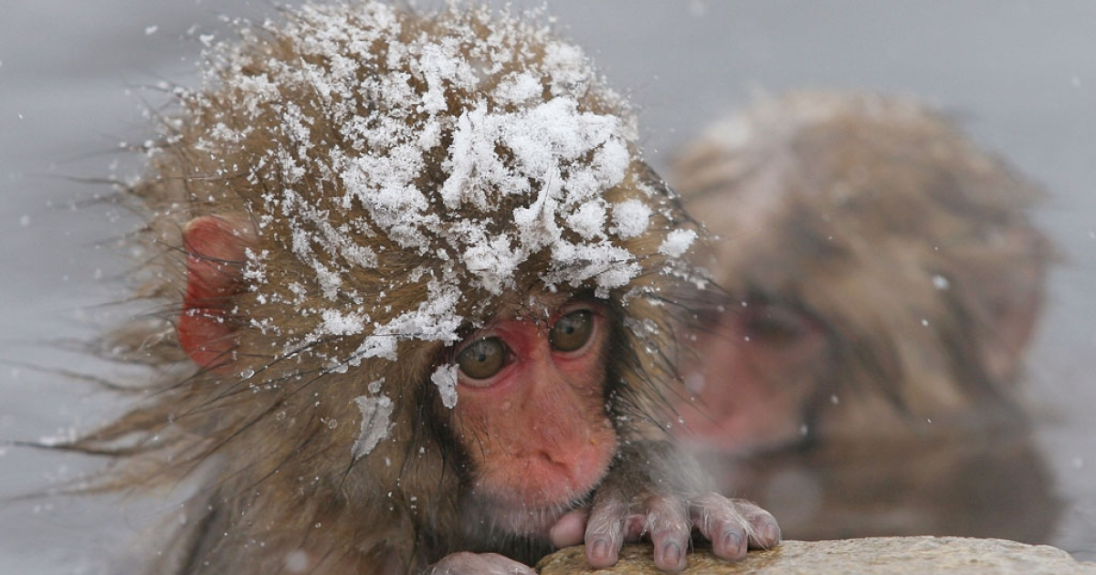 A Japanese Macaque monkey relaxes in the hot spring at Jigokudani-Onsen (Hell Valley) on December 28, 2005 in Jigokudani, Nagano Prefecture, Japan.</p>