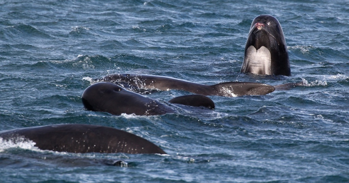 This photo take on May 20, 2011 shows a pod of pilot whales in Loch Carron in South Uist, Scotland.</p>