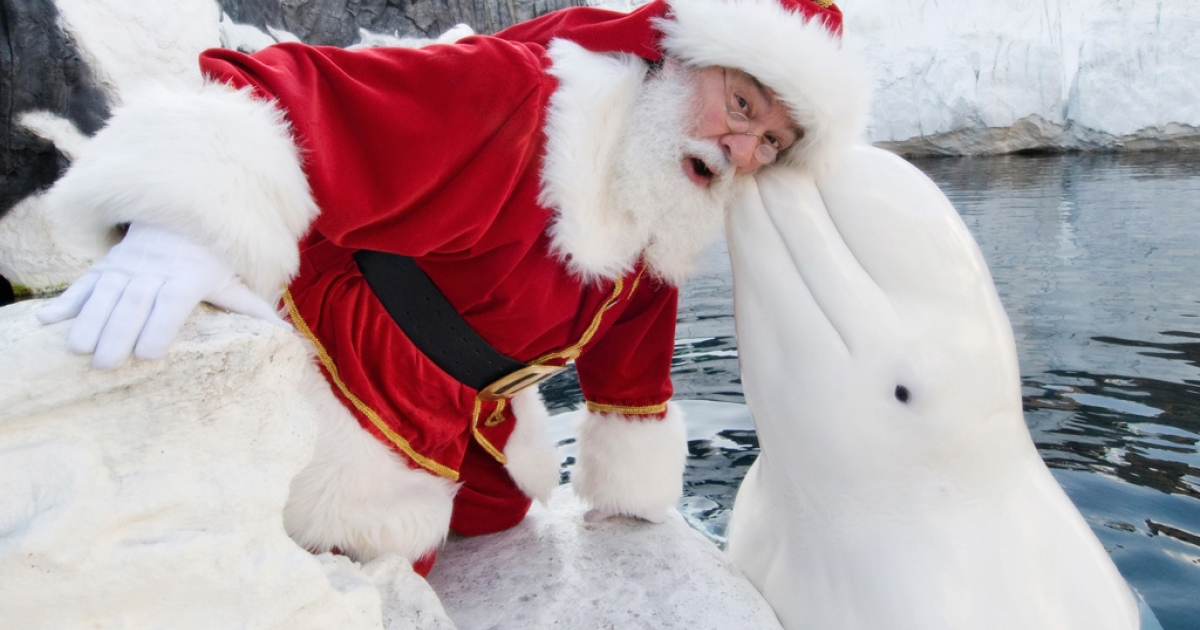 In this handout photo provided by SeaWorld San Diego, Santa Claus poses with a beluga whale on December 15, 2011 in California.</p>