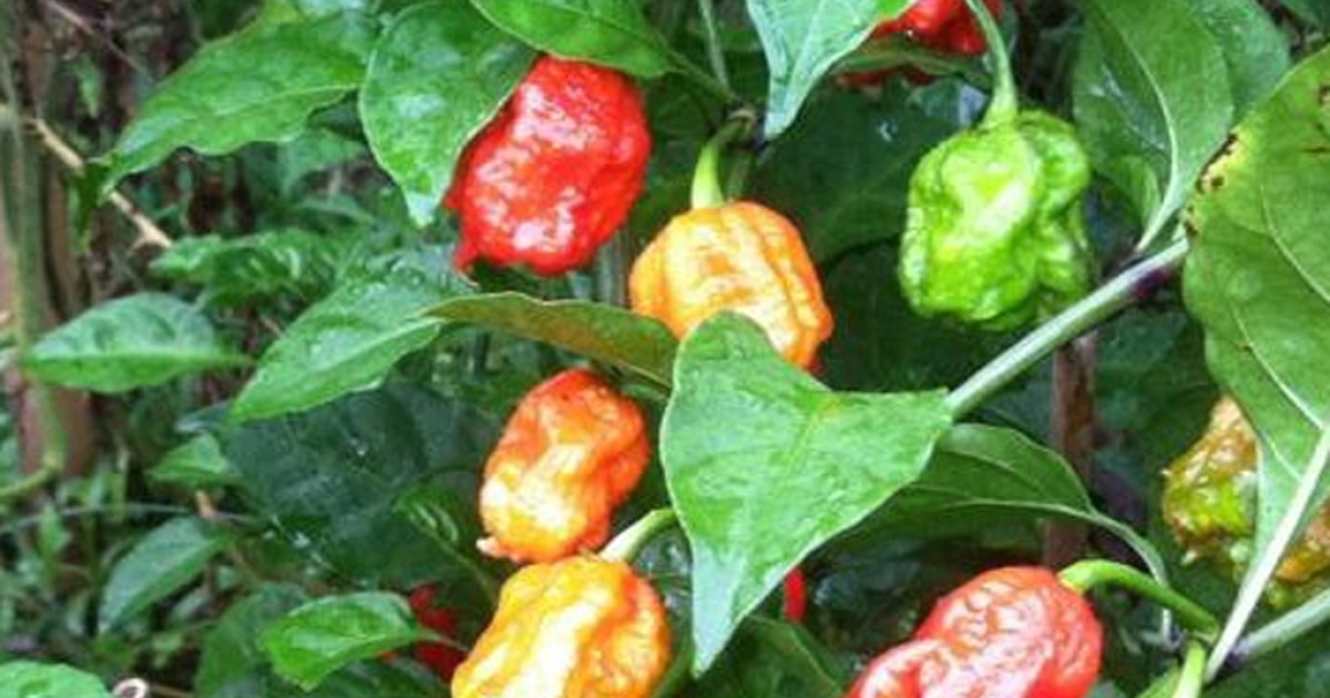Military-grade peppers.</p>