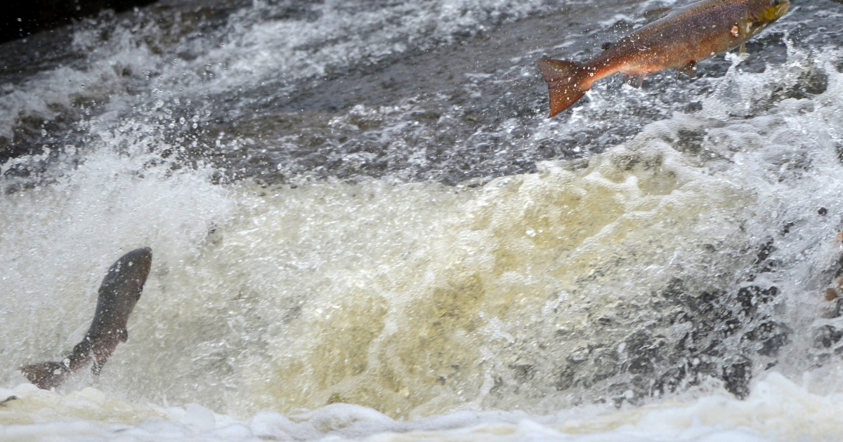 Salmon returning upstream from the sea where they have spent between two and four winters feeding with many covering huge distances to return to the fresh waters to spawn.</p>