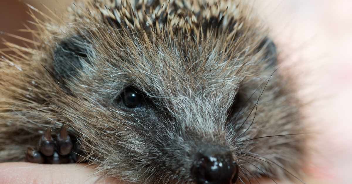 Cuddly hedgehogs are wreaking havoc by spreading salmonella. Twenty people have fallen ill from handling them in the last year.</p>