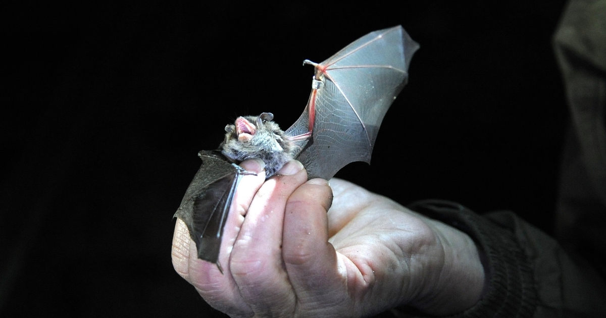 Brown University researchers built a robotic bat wing to help them better understand how the animals fly.</p>