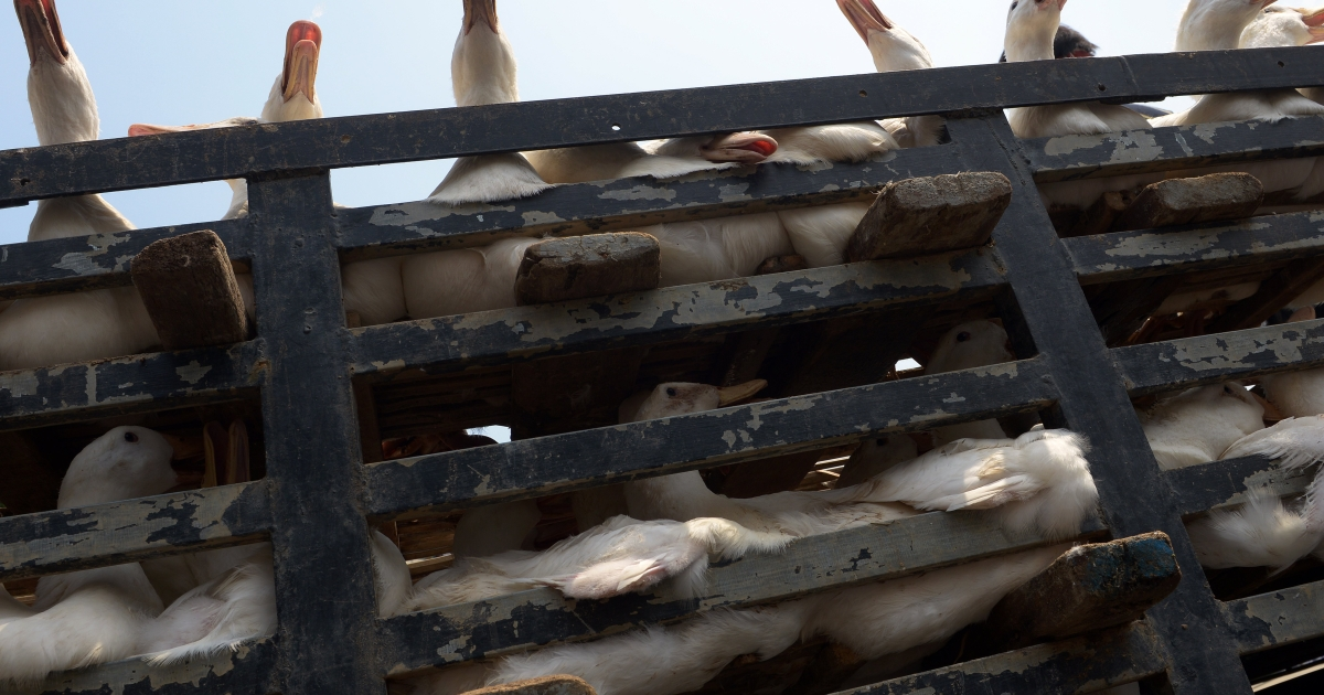 Ducks are transported on a pickup truck at a market in Phnom Penh on February 8, 2013.</p>