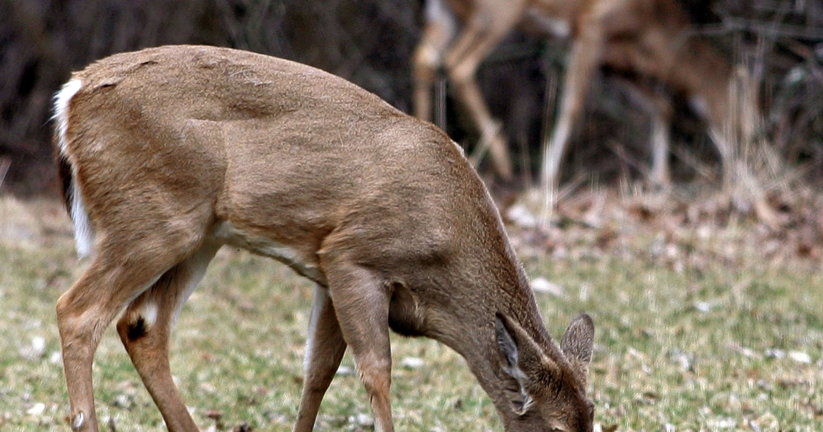 A deer in New York fell into a lake Thursday and was licked back to life - by its own kind.</p>