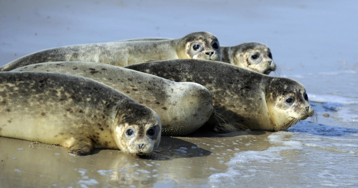 Baby seals are pictured in the water of the North Sea after they have been turned to the wild by employees of the seal-breeding station of Norddeich,  at the North Sea island of Juist.</p>