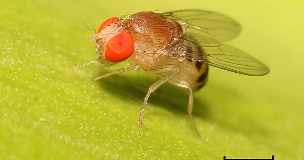 Fruit flies soak their larvae in alcohol to keep them protected from predators.</p>