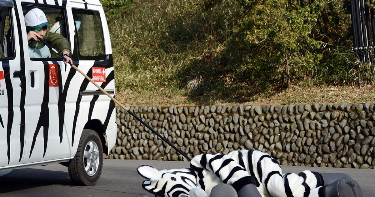 A zookeeper checks a zebra-dressed man after being 'tranquilized' during a drill to practice what to do in the event of an animal escape at the Tama zoo in western suburb of Tokyo on February 1, 2013. About 60 zookeepers participated in the annual drill. AFP PHOTO/TOSHIFUMI KITAMURA</p>