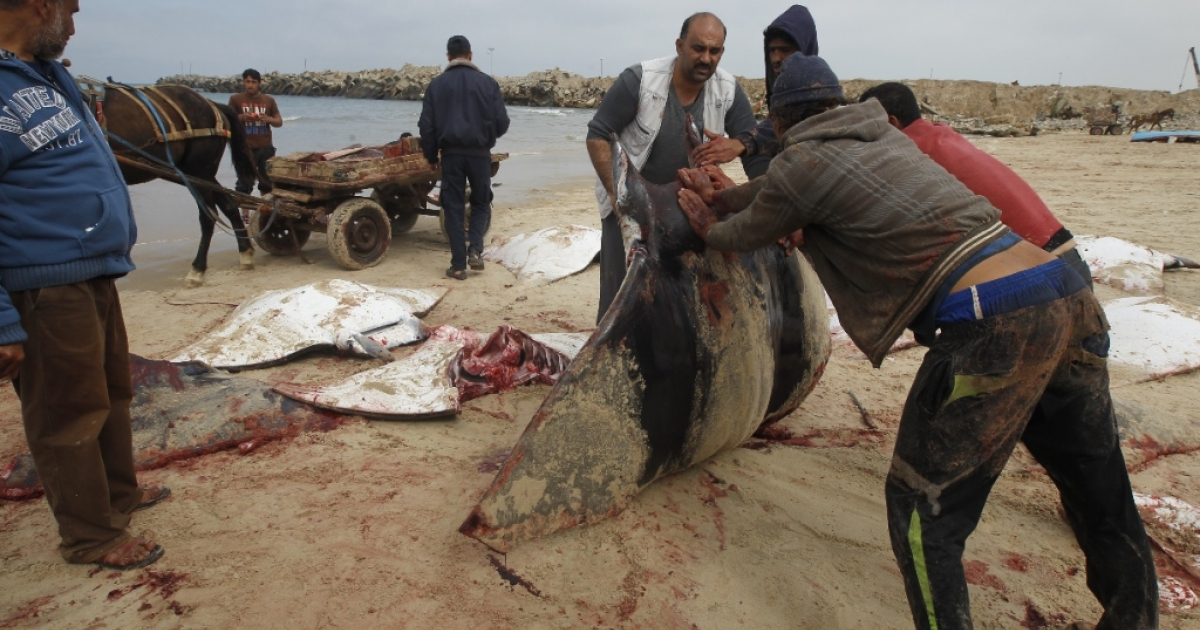 Palestinian fishermen collect several Manta Ray fish that were washed up on the beach in Gaza City on February 27, 2013.</p>