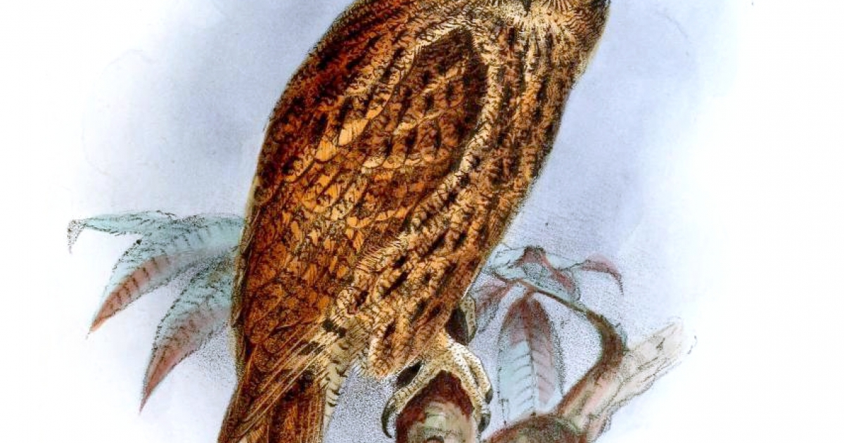 The Moluccan Scopes Owl looks very similar to the newly discovered Rinjani scops owl of Indonesia, identified recently by researchers as a distinctive species.</p>
