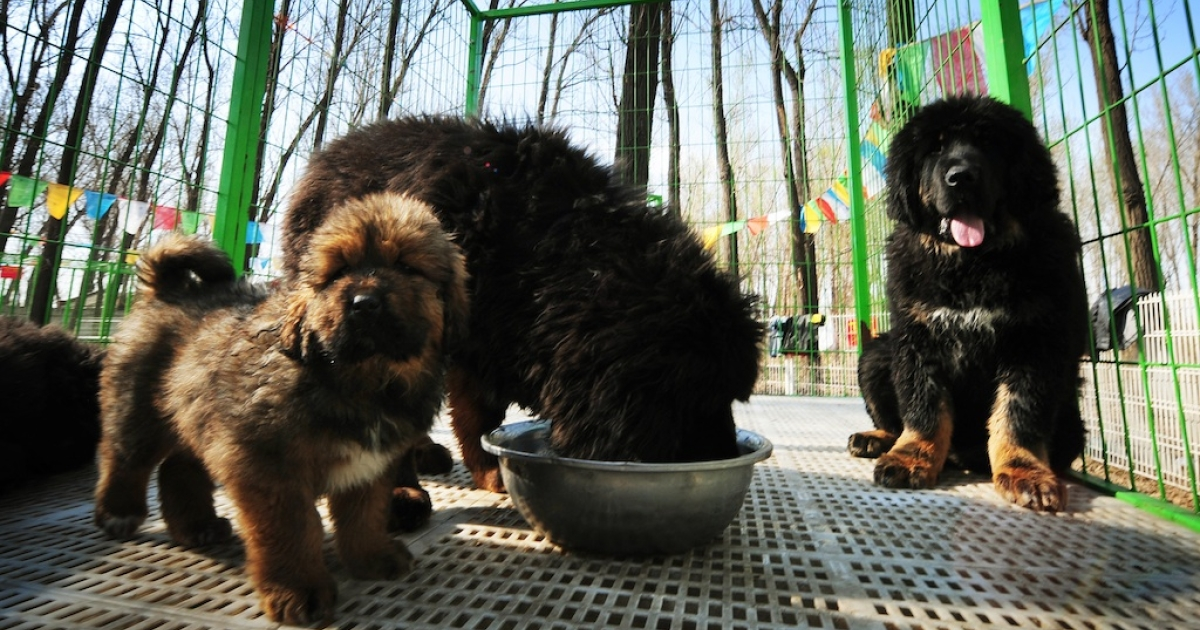 This photo taken on April 6, 2012 shows pedigree Tibetan mastiff dogs on display at a dog show in the town of Daxing near Beijing. The animals which have now become the world's most expensive are much prized in China where owning one is seen as a status symbol and a coal baron in northern China recently purchased one for ten million yuan (about 1,500,000 USD).</p>