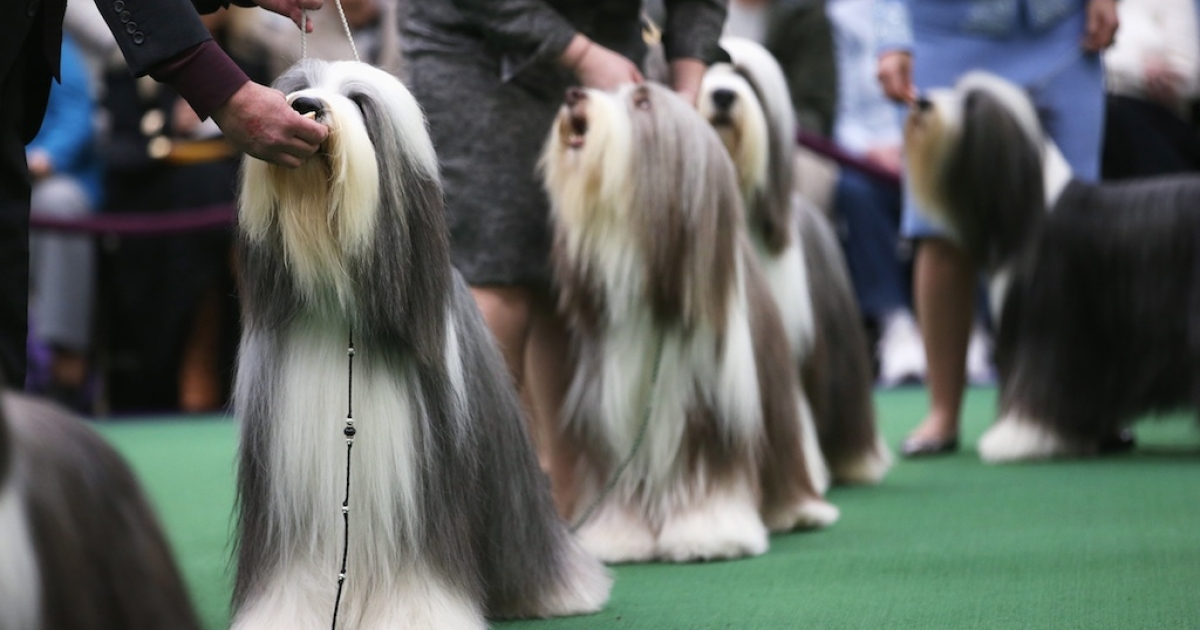 Bearded collies compete in the 137th Westminster Kennel Club Dog Show on February 11, 2013 in New York City. A total of 2,721 dogs from 187 breeds and varieties are to compete in the event, hailed by organizers as the second oldest sporting competition in America, after the Kentucky Derby.</p>