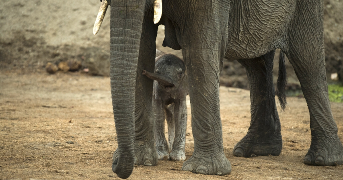 An African elephant and her baby in Hwange National Park in Zimbabwe.</p>