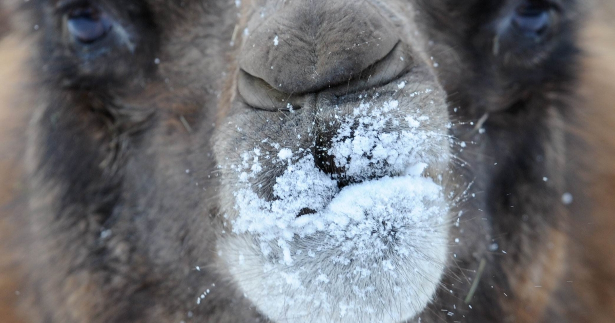 A fire at a camel farm in southern Germany saw 86 of the humped beasts perish.</p>