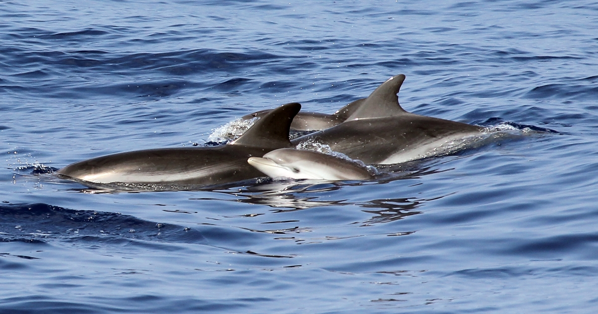 A deformed bottlenose dolphin was adopted by a group of friendly sperm whales near the Azores, scientists found.</p>