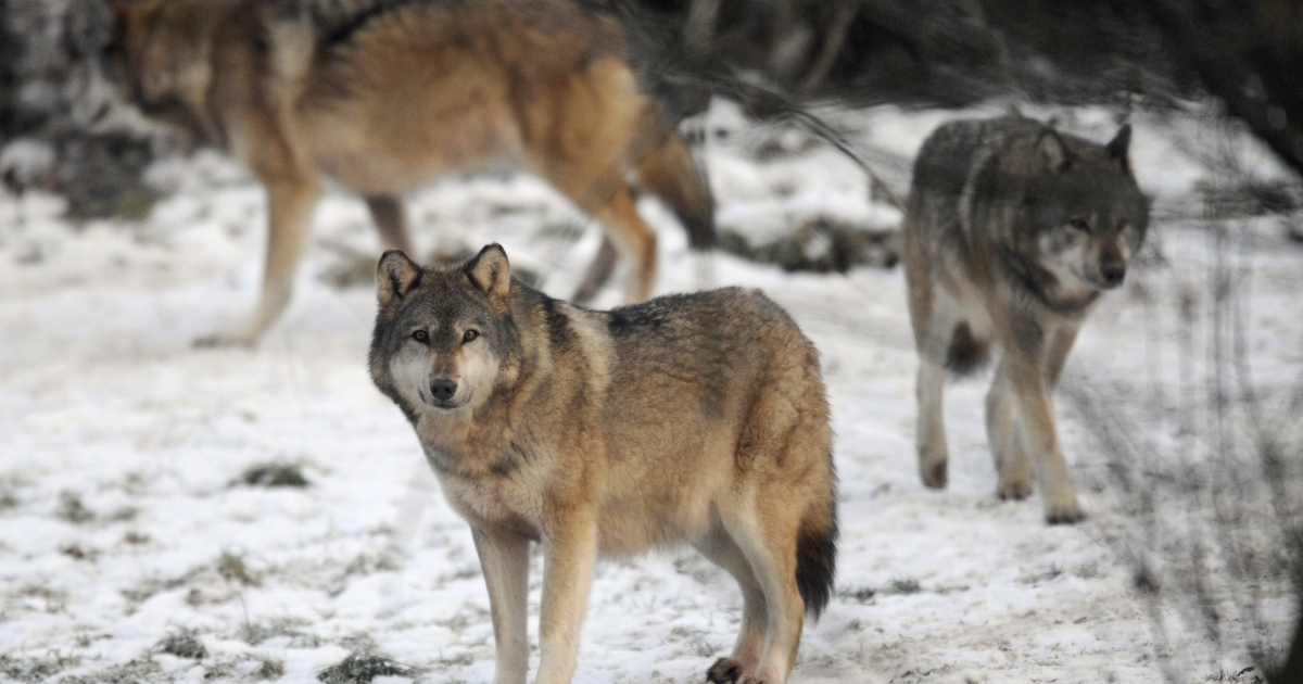 Scientists have found that the ability to easily digest starchy foods may be the key difference between wolves and dogs.</p>