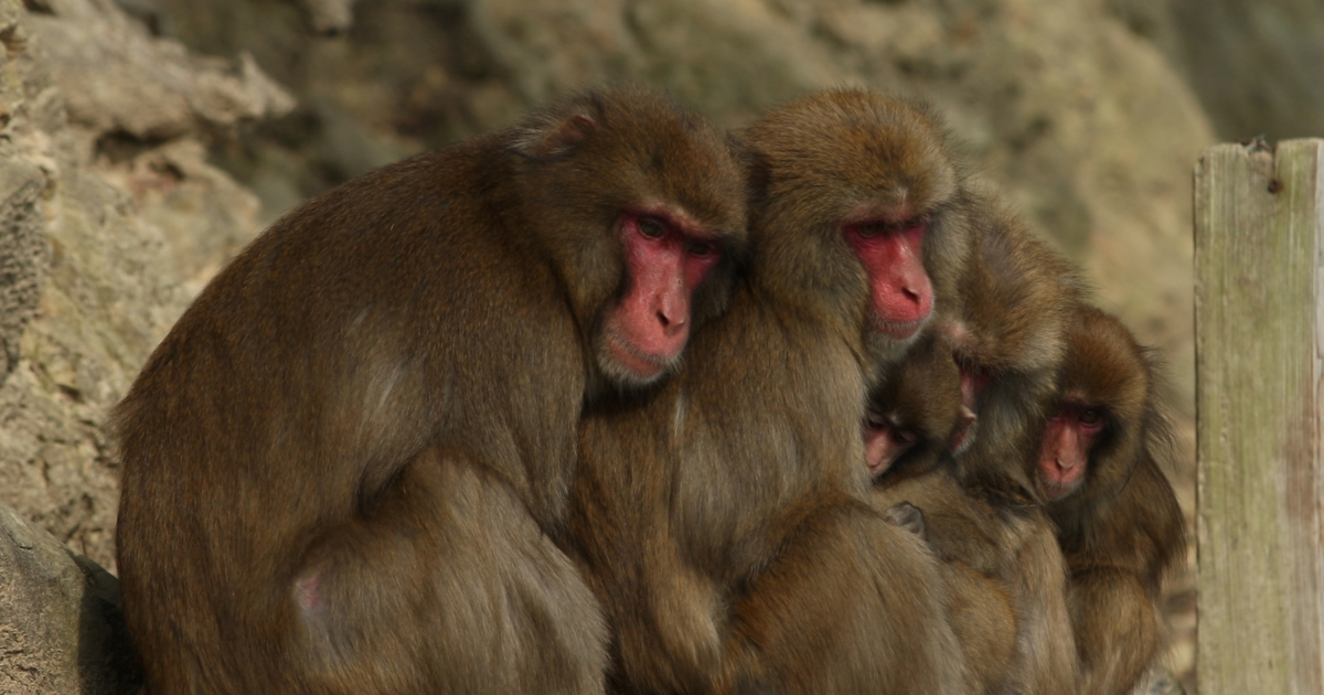 Monkeys, like humans, tend to modify their movements to act in unison with those around them say researchers.</p>