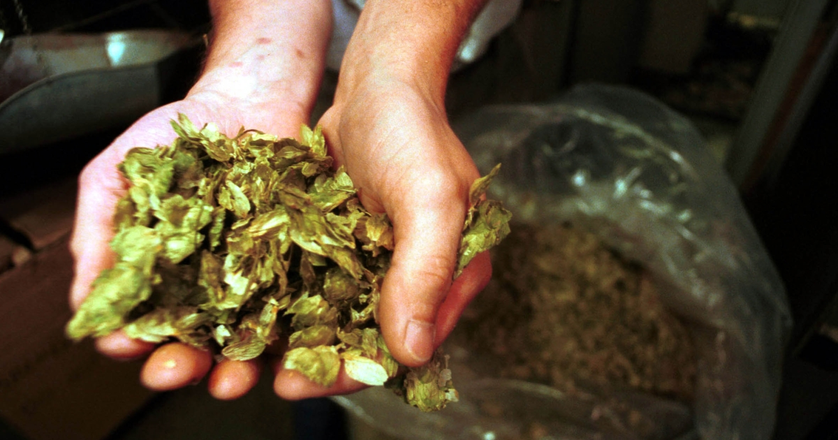 University of Washington researchers say that hops may be able to create new drugs to treat cancer, diabetes and other illnesses.</p>