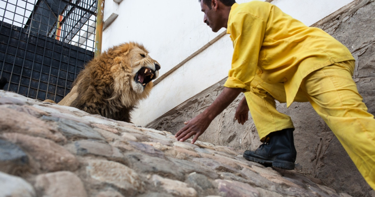 A lion keeper at the Sana'a Zoo in Yemen's capital approaches one of the facility's 20 lions. Underpaid, one of the lion keepers is said to accept bribes to allow visitors to enter the cage.</p>