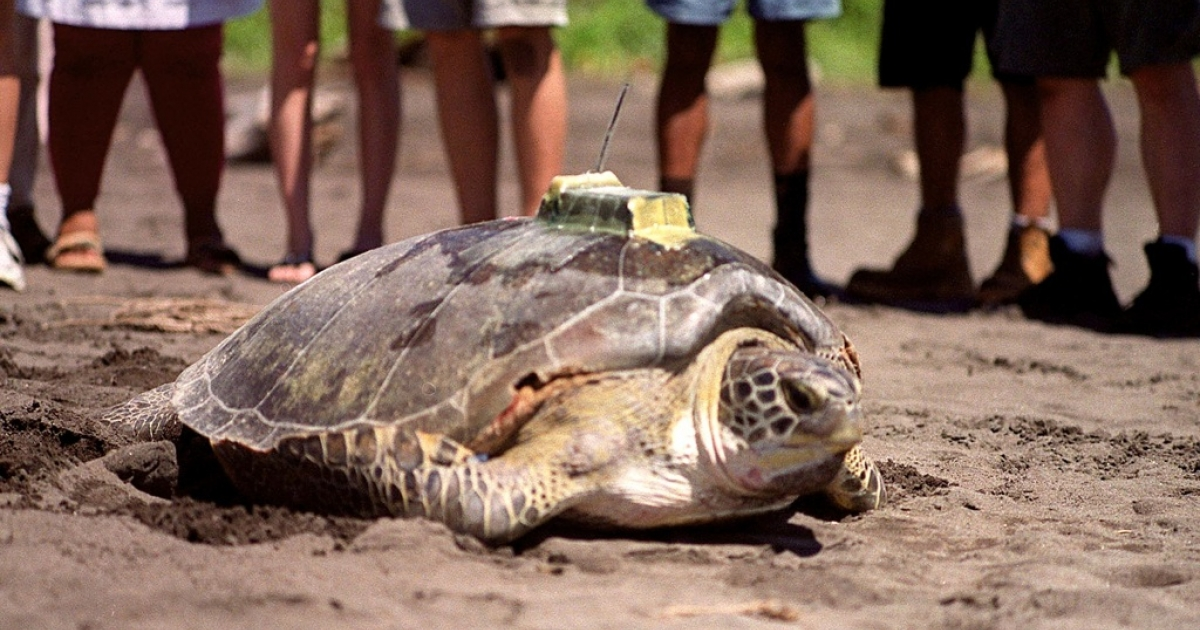 A green turtle (Chelonia Mydas) enters the sea, 20 July 2000, with a transmitter placed in its shell at the biologicaL station of the Caribbean Conservation Corporation located at Tortuguero beach.</p>