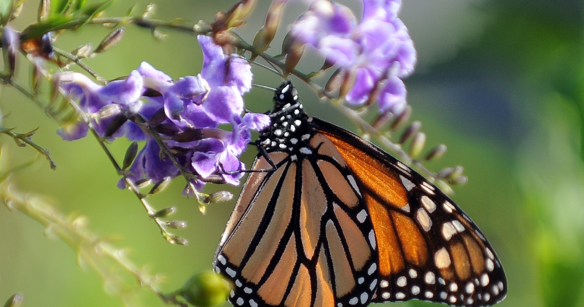 The monarch butterly population migrating to Mexico this year has been reduced to its lowest level ever recorded. The decline is likely due to global warming, habitat loss and the use of pesticides.</p>