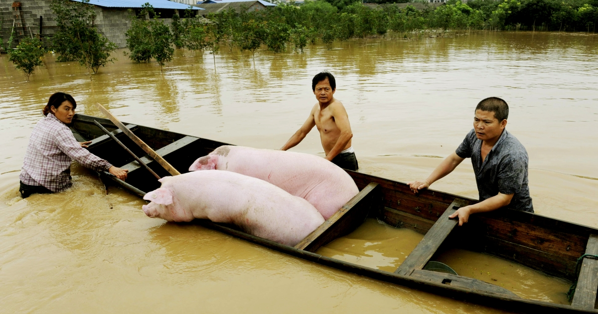 900 pigs have been found dead floating down the Huangpu river near Shanghai. The river is used as drinking water by city residents.</p>