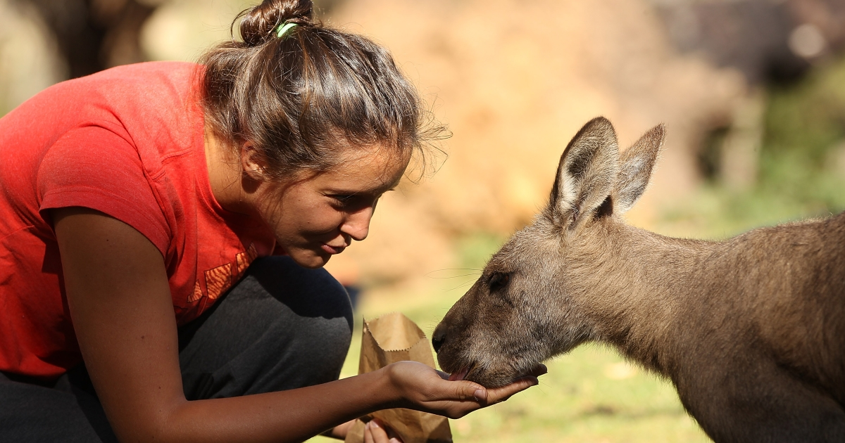 Laura Robson of Great Britain feeds a kangaroo on a visit to Bonorong Wildlife Sanctuary on January 5, 2013.</p>