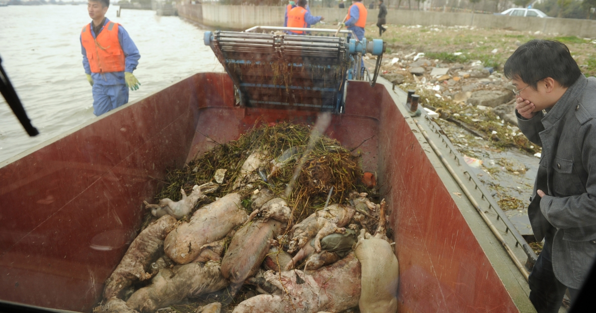 Dead pigs are collected by sanitation workers from Shanghai's main waterway on March 11, 2013.</p>