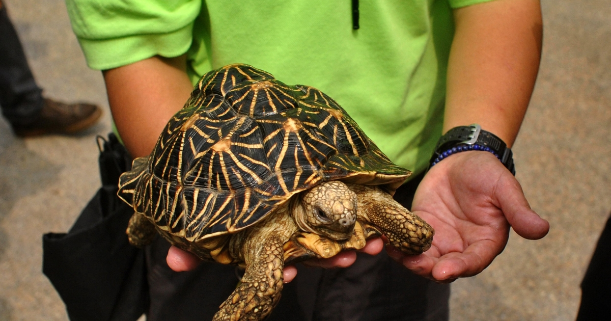 Two people were arrested at Bangkok's airport Saturday after trying to smuggle 10 percent of a rare turtle species into the country.</p>