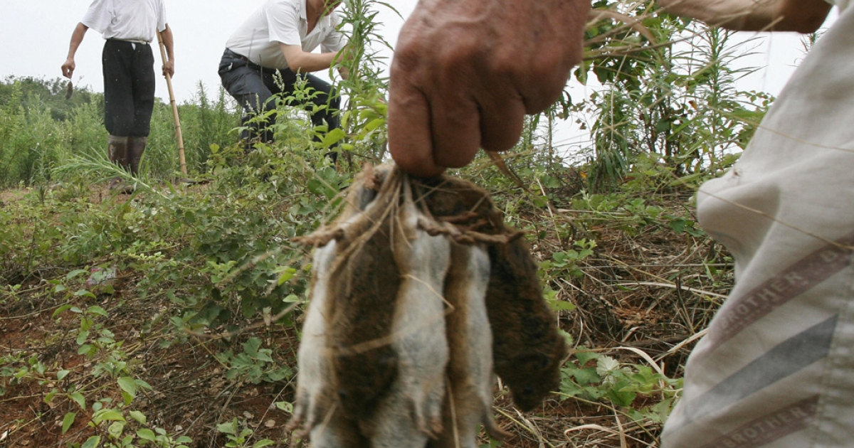Chinese farmers hunt rats during an eradication program near the village of Bing Hu in Hunan Province, on July 13, 2007. Two billion rats fled their flooded homes, destroying farmland and posing a health risk to humans.</p>